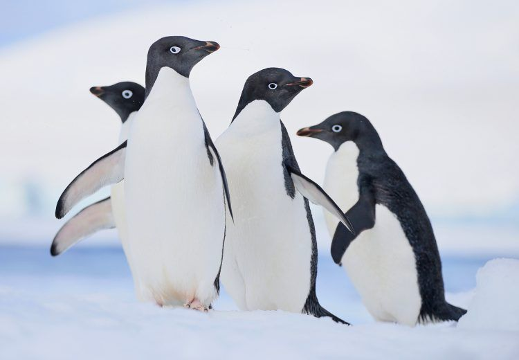 Comical looking Adelie Penguins are a highlight of photography trips in Antarctica