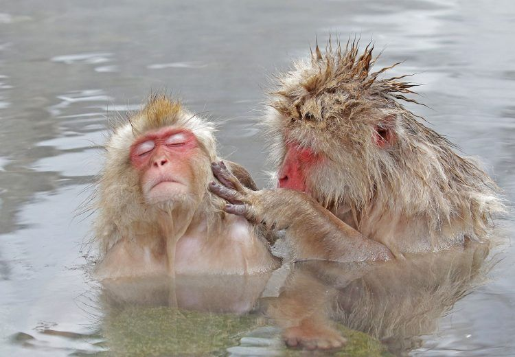 Japanese Macaques (Snow Monkeys) engaged in mutual grooming in Honshu, Japan