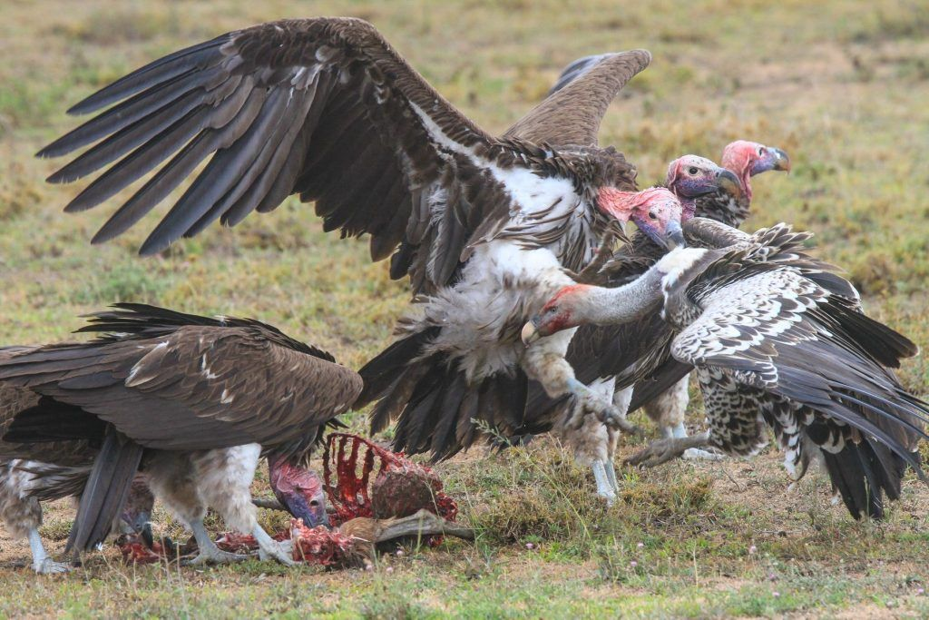 The Lappet-faced Vultures band together to discourage a smaller Rüppell's Vulture