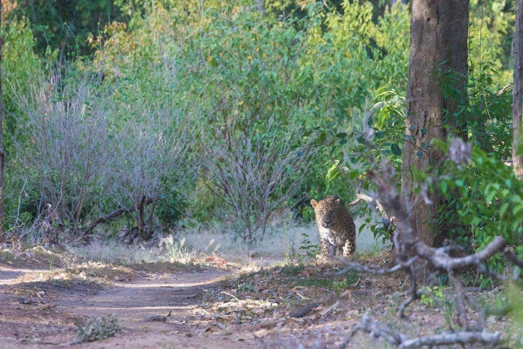 Leopard at dawn in Yala