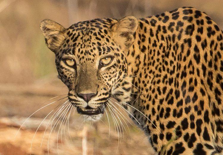 A wild leopard in Yala National Park, Sri Lanka