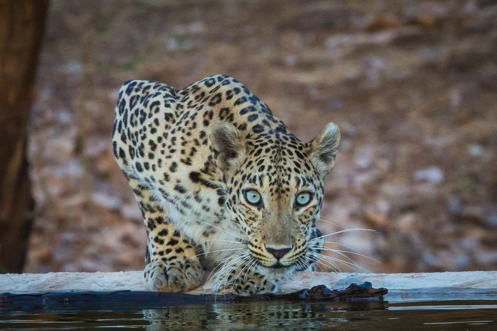 A Leopard drinking
