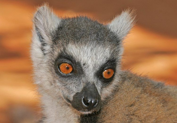 You can often get really close to Ring-tailed Lemurs