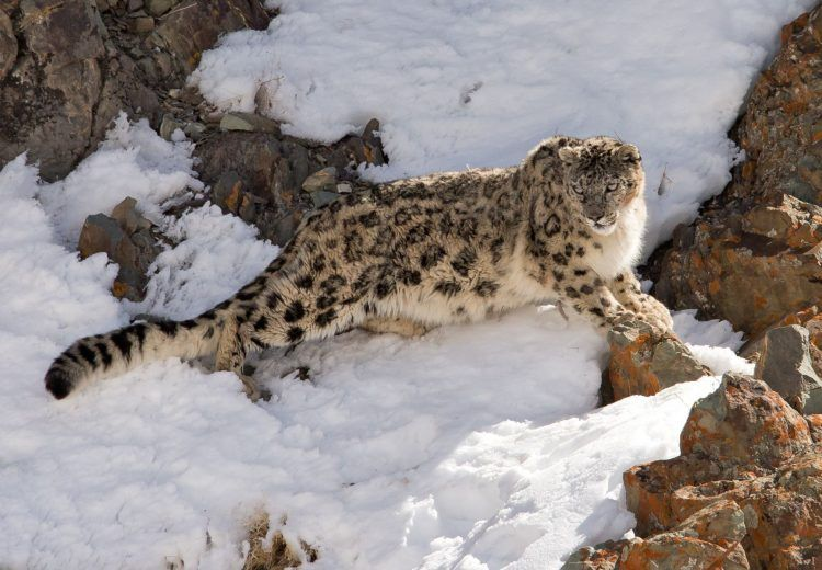 Snow Leopard on our Ladakh photography tour by Mike Watson