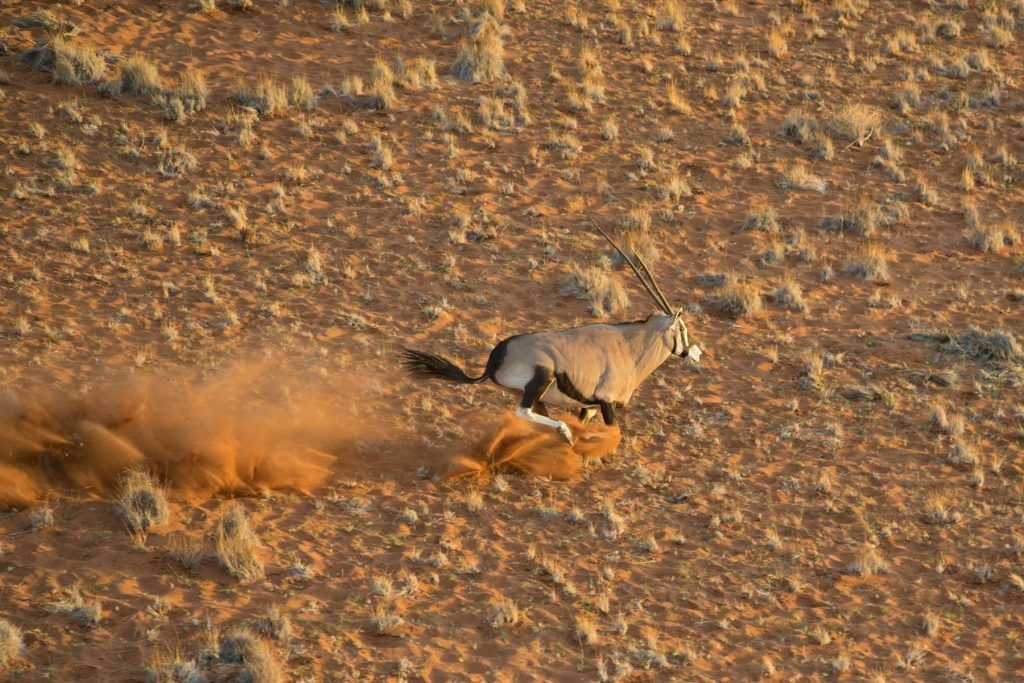 A racing Gemsbok from the air at Sossusvlei, Namibia