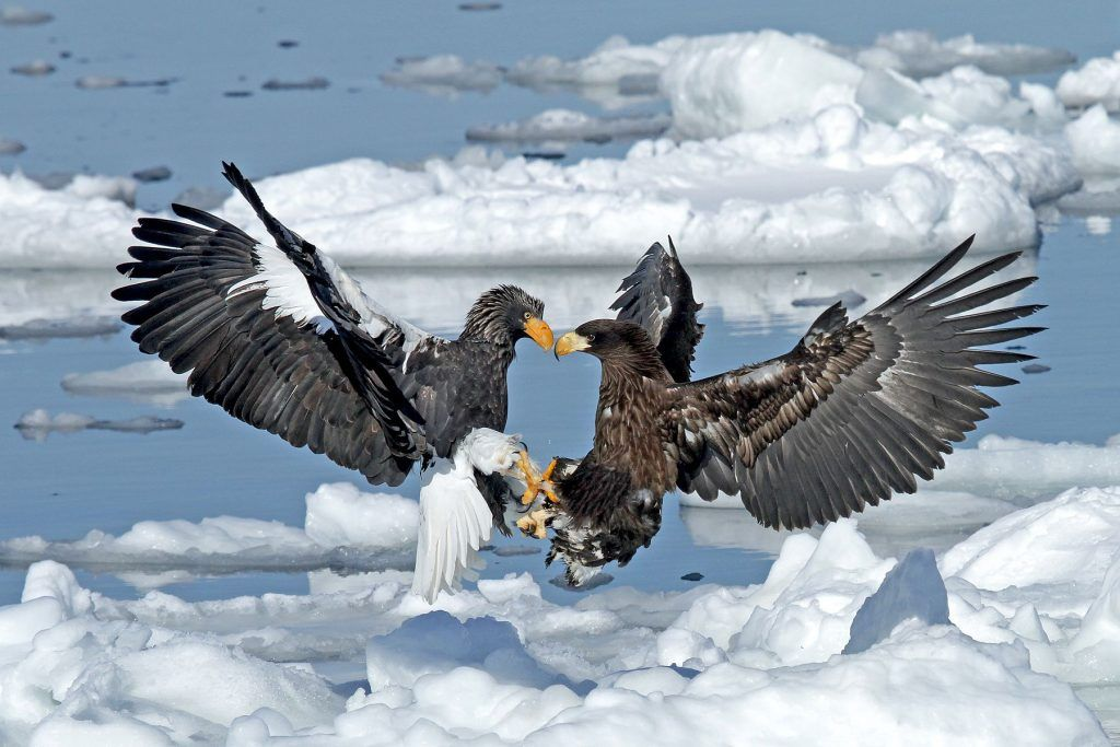 A pair of Steller's Sea Eagles go head to head in Hokkaido, Japan! Photography tours by Pete Morris
