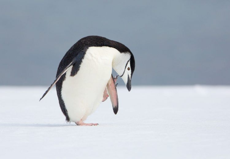 A Chinstrap Penguin has a scratch