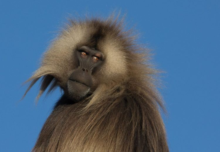 Gelada Baboon males are magnificent creatures and you can, with care, approach them very closely in the Simien on Ethiopia photography tours by Inger Vandyke
