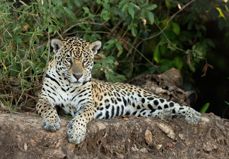 Jaguar in the Pantanal: Photography tours by Mike Watson