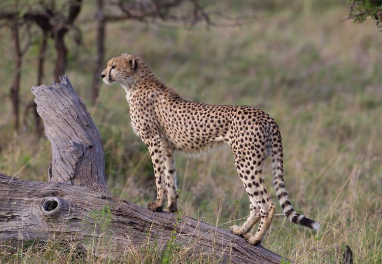 The Masai Mara Reserve in Kenya is one of the best places in Africa to photograph Cheetah on safari