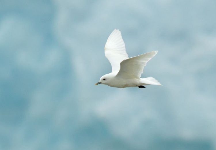 Ivory Gull against the ice is one of the most sought-after images during Svalbard (Spitsbergen) photography tours