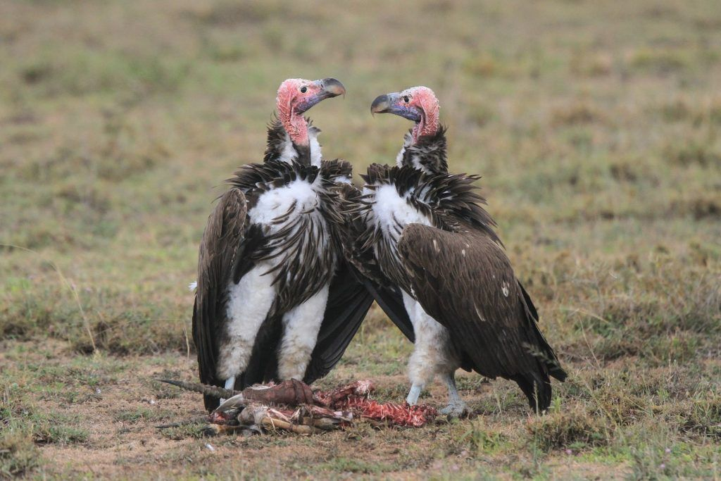 Two huge Lappet-faced Vultures confront each other at a carcass