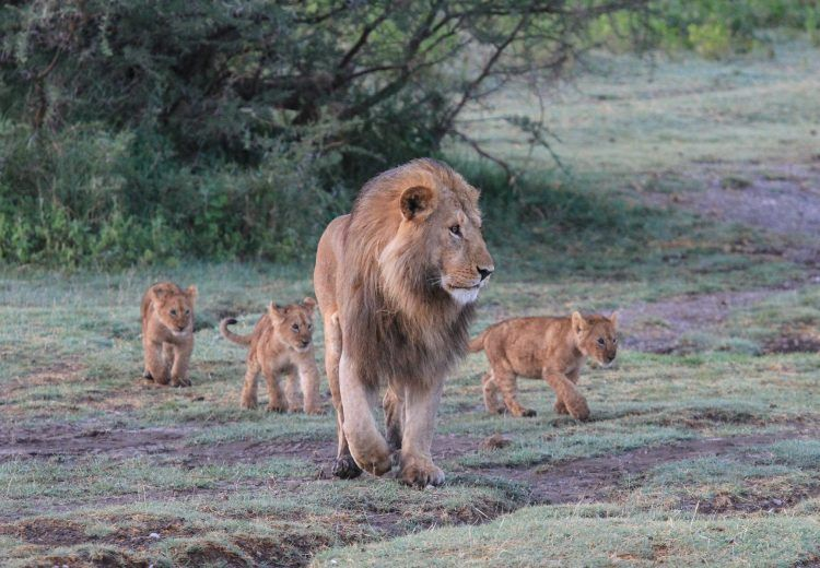 Or simply follow dad around like grown up Lions