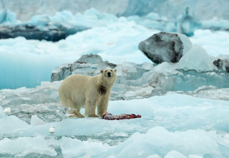 Polar Bear feasting on the ice