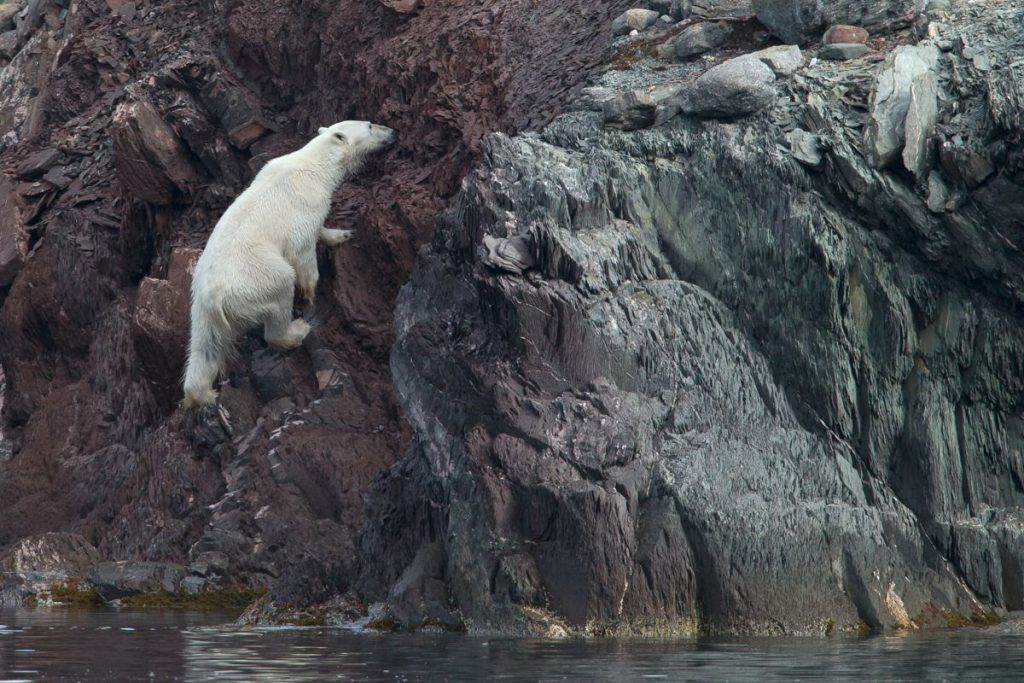 A Polar Bear scales a cliff after a swim in Spitsbergen