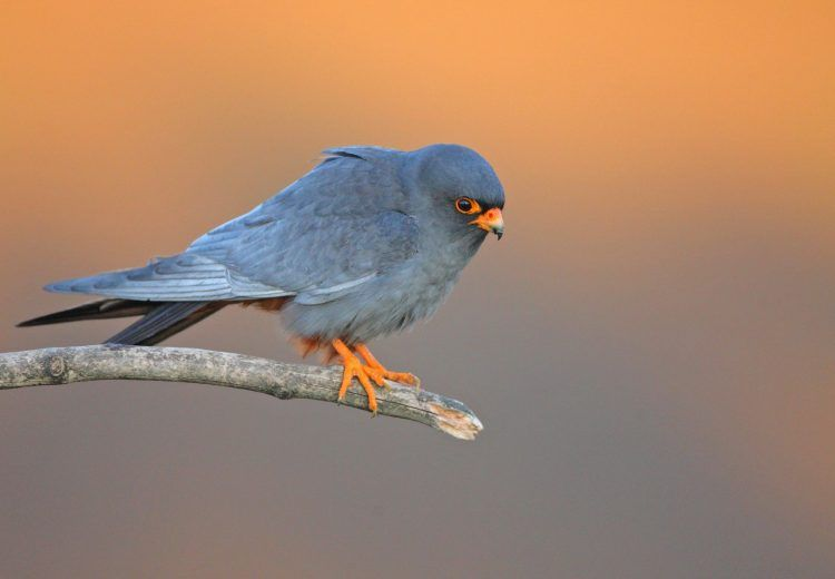 Red-footed Falcon in a Hungarian dawn