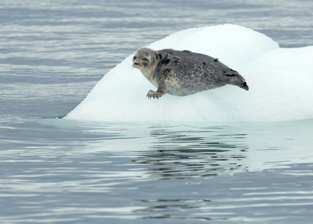 Ringed Seal resting on an ice floe