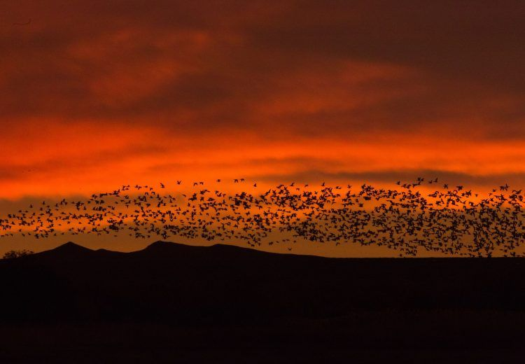 Sunrise and sunset photography tours at Bosque Del Apache often feature blast offs of Snow Geese