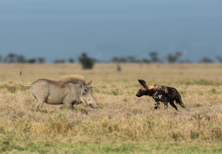 African Wild Dog encounter with a Warthog in Kenya
