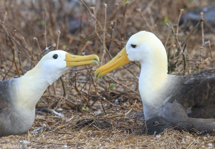 As with all albatrosses, there are affectionate greetings between pairs