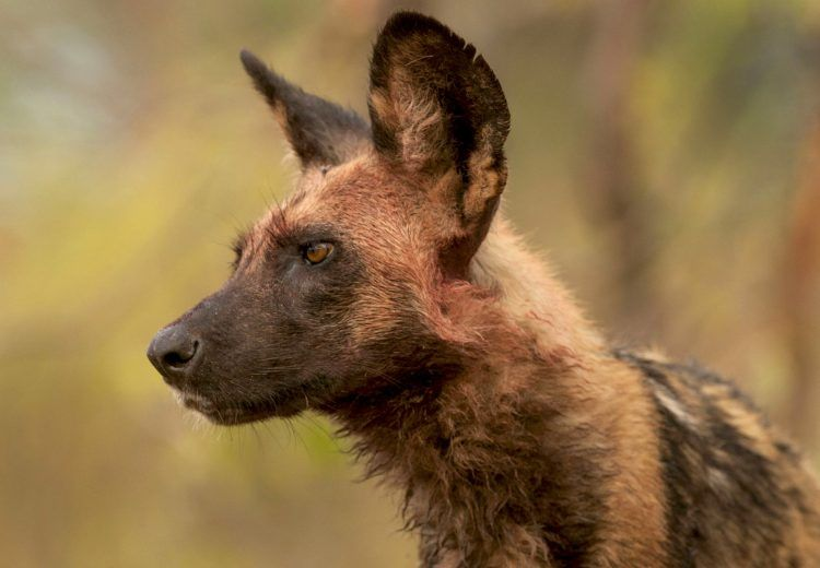 Wild Dog portrait by photographer Grant Reid