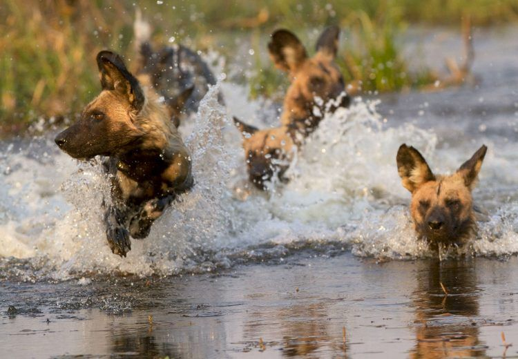 Botswana wildlife photography tours often feature African Wild Dogs