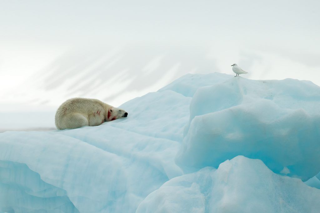 A Polar Bear rests on the ice after a meal, watched by an Ivory Gull, on a Wild Images Spitsbergen (Svalbard) photography tour