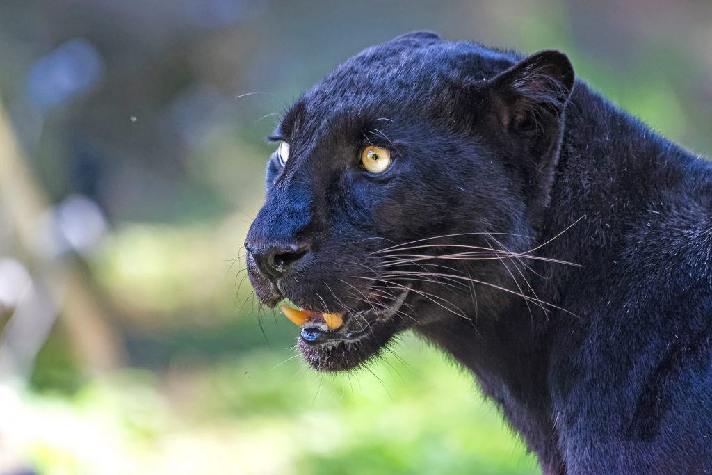 The legendary Black Panther, the rare melanistic form of the Leopard, is a wildlife photographer's dream animal