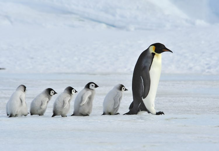 Emperor Penguins often tend the young of several pairs, or even steal chicks!