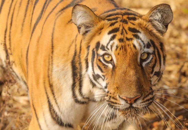 Tigress Sonam up close and personal at Tadoba, India