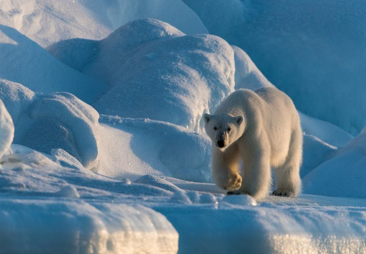 The low light in spring and autumn makes for atmospheric Polar Bear shots in Svalbard