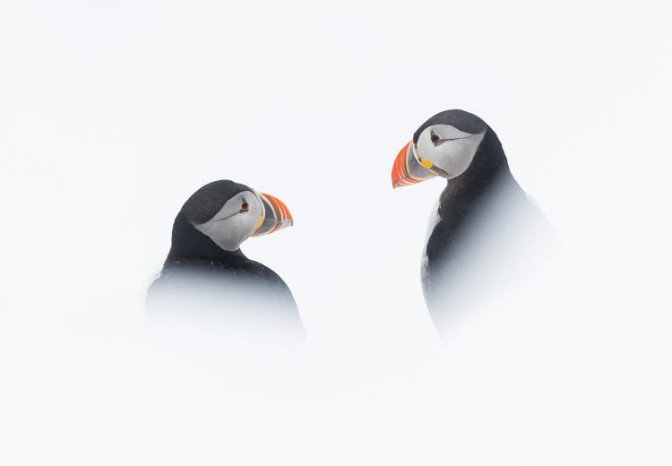 Atlantic Puffins in the snow at Hornøya island, northern Norway