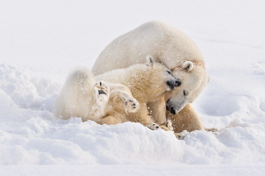At this season the Polar Bear cubs are still quite small