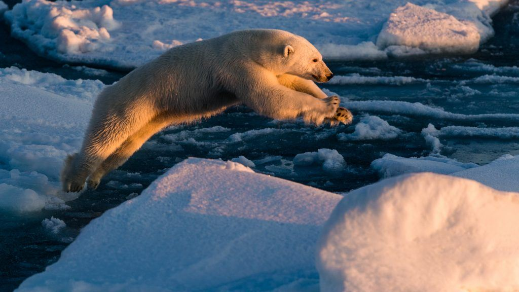 A Polar Bear leaps from one ice-floe to another