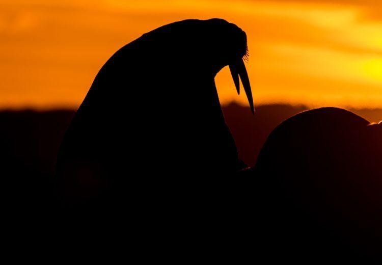 A male Walrus at sunset
