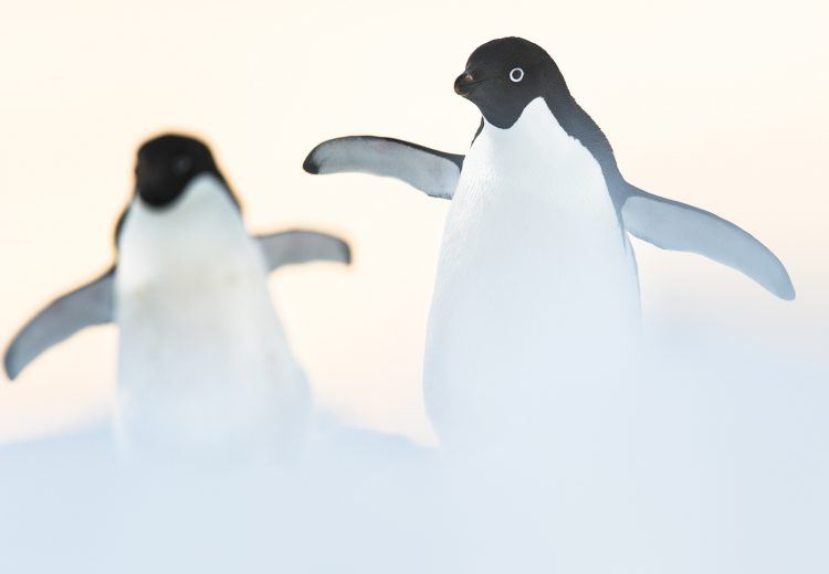 Adelie Penguins are surely the cutest of the smaller species