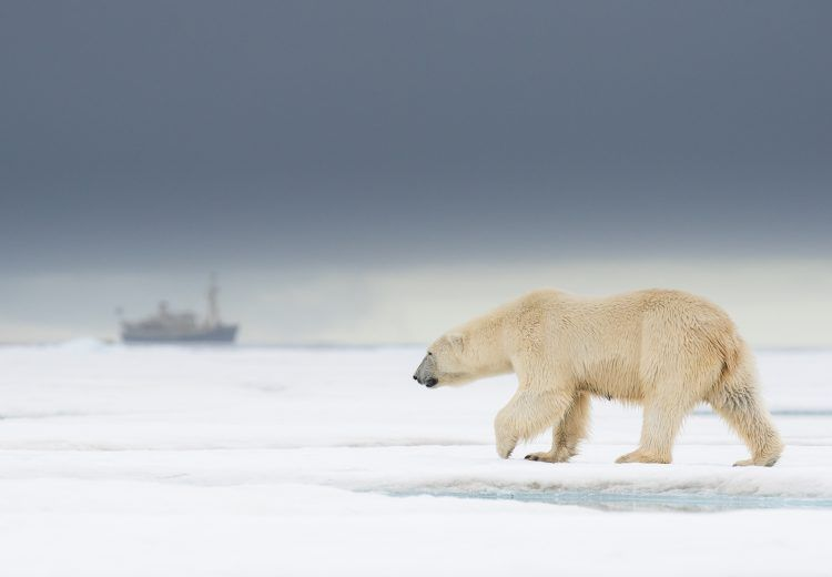 Polar Bear, Ursus maritimus, female walking on an ice-floe north of Svalbard. Our expedition ship MS Origo is seen in the background