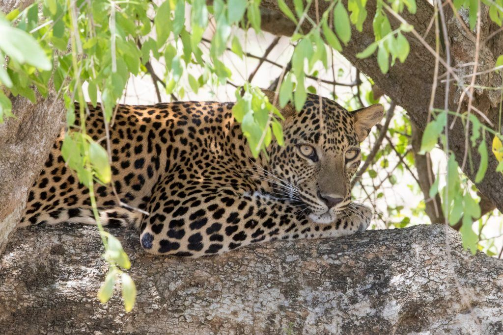 Photographing leopards in Sri Lanka is always a highlight of photography tours in Sri Lanka