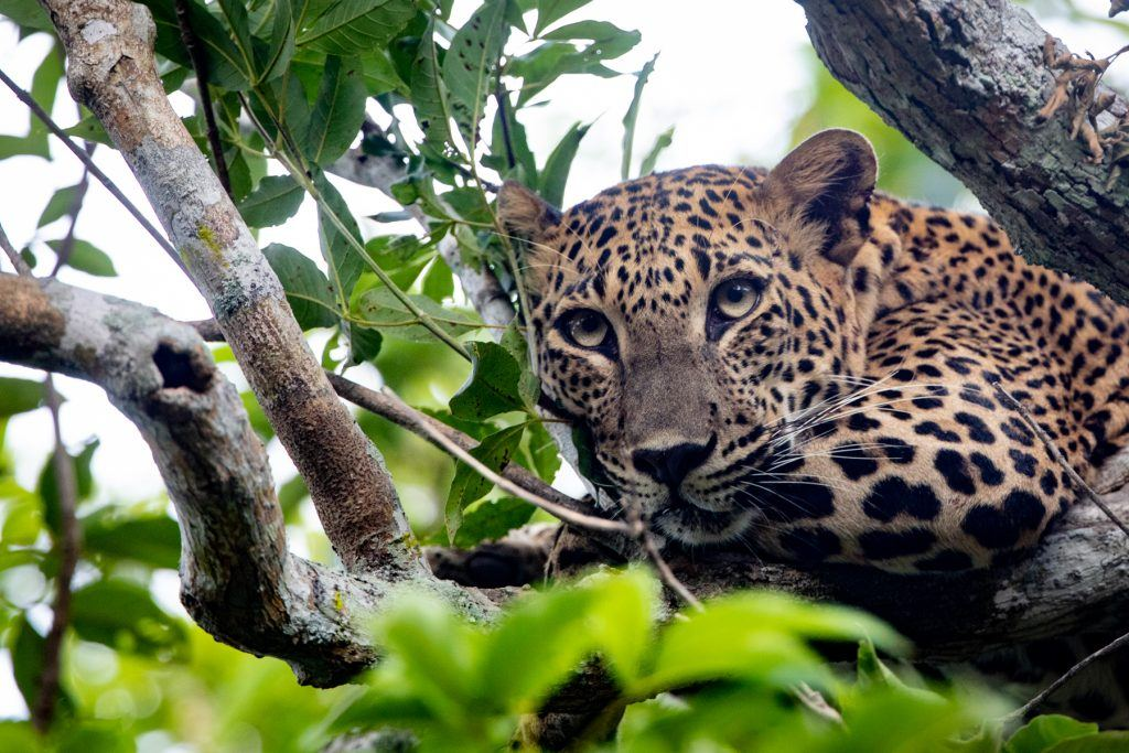 Leopard stare from the treetops in Yala Sri Lanka