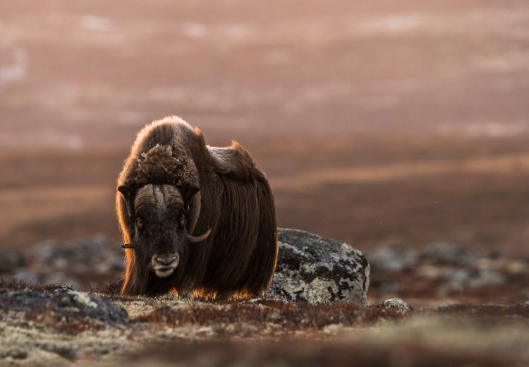 Backlit Musk Ox on the autumn tundra of Dovrefjell