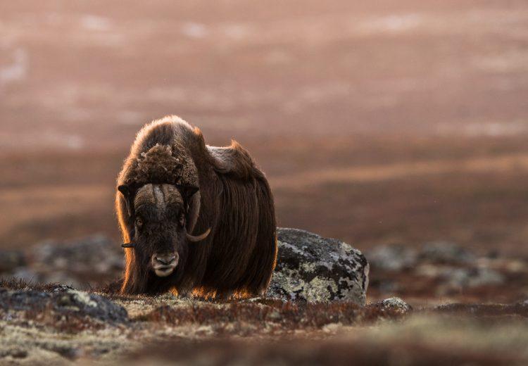 Backlit Musk Ox on the autumn tundra of Dovrefjell