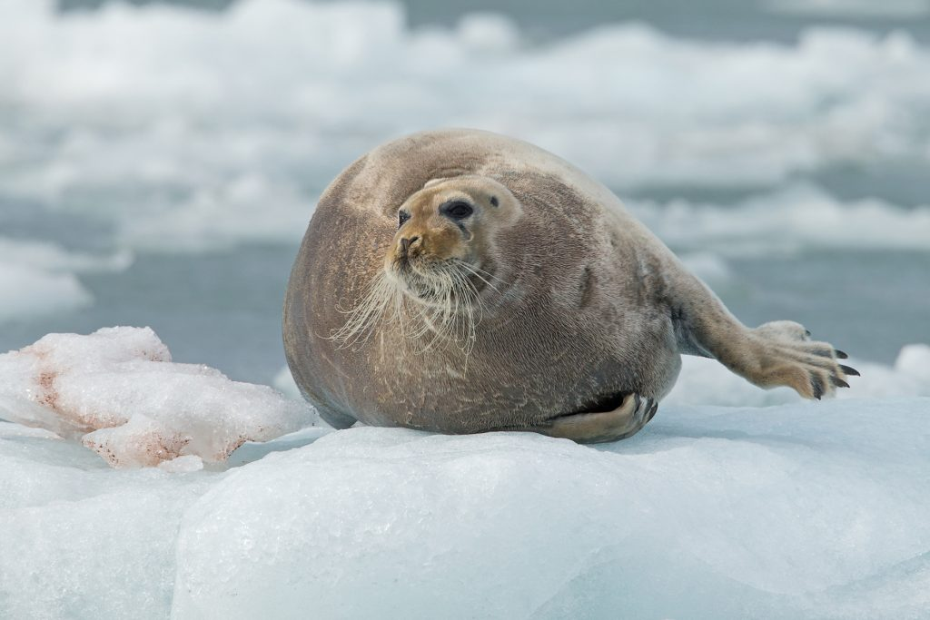Portrait of a Bearded Seal in Spitsbergen by Mike Watson