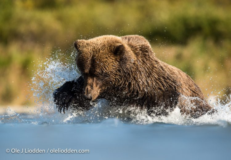 Grizzly Bear (Ursus arctos) fishing for salmon in Katmai, Alaska