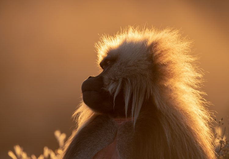 Backlit Gelada portrait