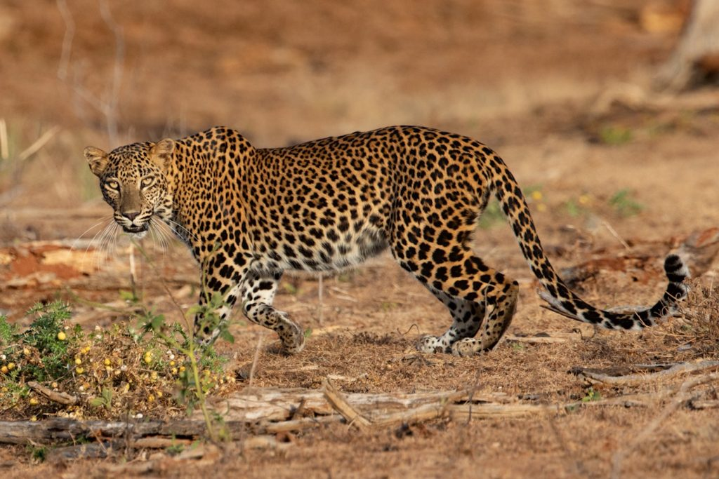 Leopard photography in Sri Lanka with Wild Images