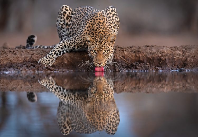 Leopard photography on the ultimate African wildlife photography tour with Wild Images