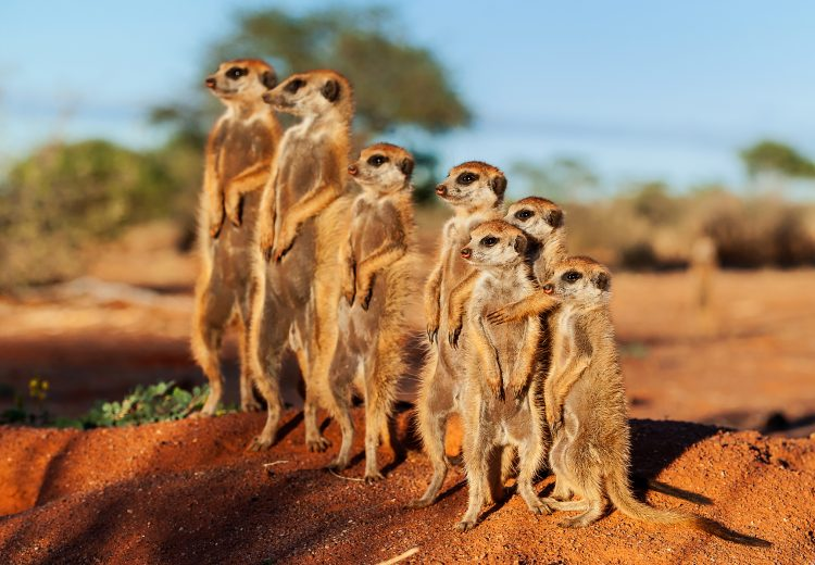 Get up close and personal with a habituated wild Meerkat family on the Wild Images photo tour of Africa