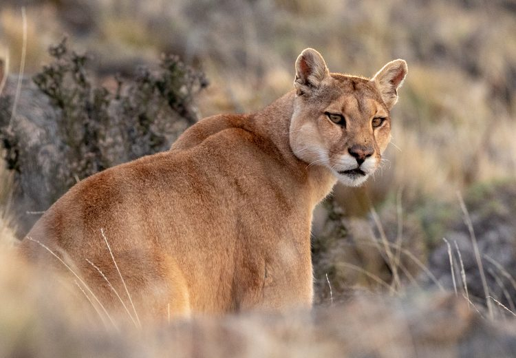 Pumas are truly beautiful animals.