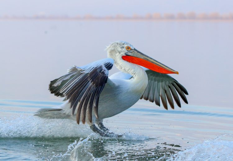 Master your bird photography with the Dalmatian Pelicans on the Wild Images Photo Tour