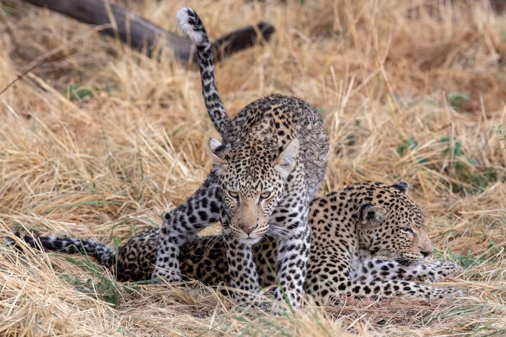 An African Leopard mother and her almost full-grown male cub